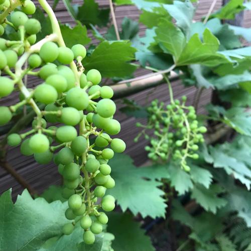 ブドウもよく使うプランツのひとつ_a0139105_00175570.jpg