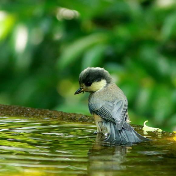 山雀幼鳥の水場通い!      GGY_d0346713_08215349.jpg