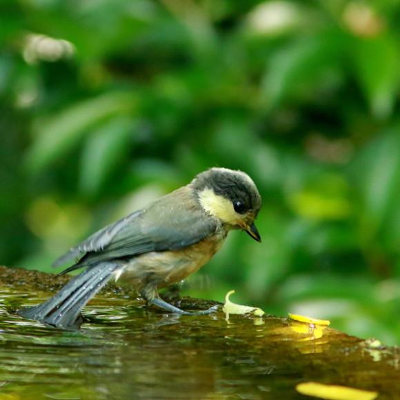 山雀幼鳥の水場通い!      GGY_d0346713_08220331.jpg