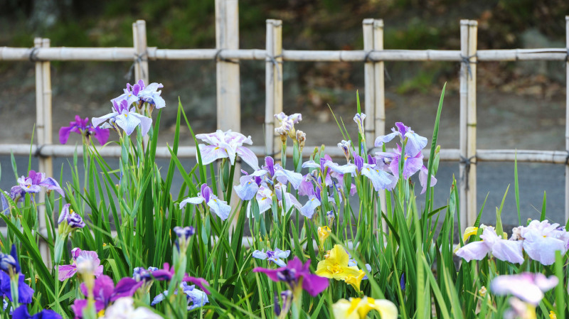 亀鶴公園 菖蒲 2019_d0246136_23401386.jpg