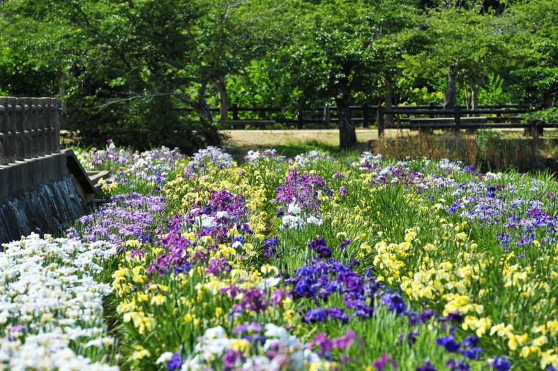 亀鶴公園 菖蒲 2019_d0246136_23404346.jpg