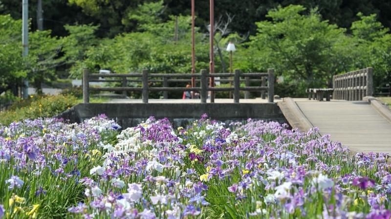 亀鶴公園 菖蒲 2019_d0246136_23404624.jpg