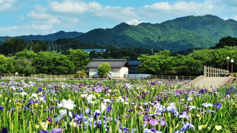 亀鶴公園 菖蒲 2019_d0246136_23405008.jpg