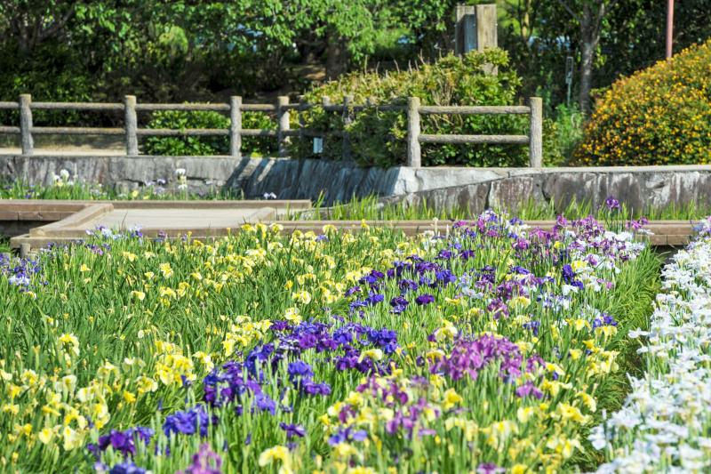 亀鶴公園 菖蒲 2019_d0246136_23410069.jpg
