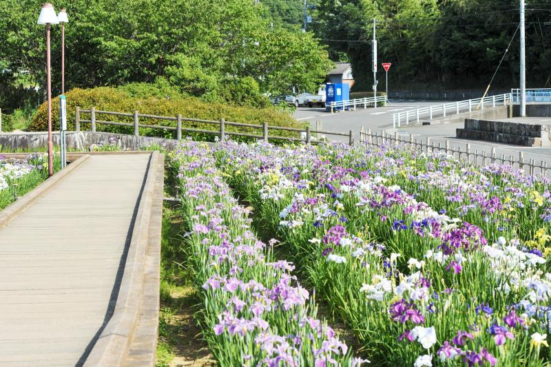 亀鶴公園 菖蒲 2019_d0246136_23410370.jpg