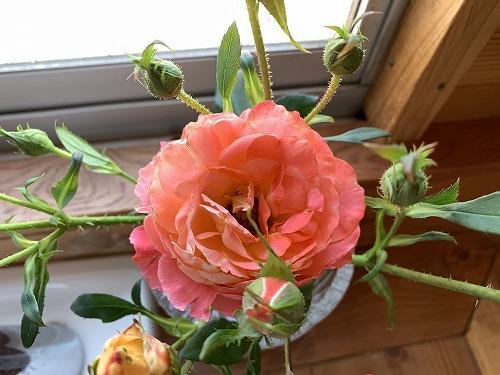 オレンジ色の薔薇_c0327752_16070262.jpg