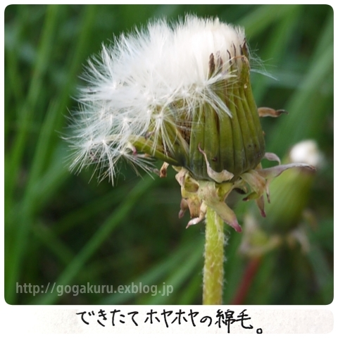 【English】dandelion fluff_e0132084_08230334.jpg