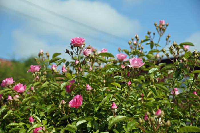 薔薇・・2_d0162994_05290908.jpg