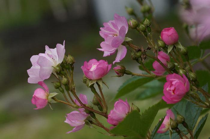 薔薇・・2_d0162994_05300622.jpg