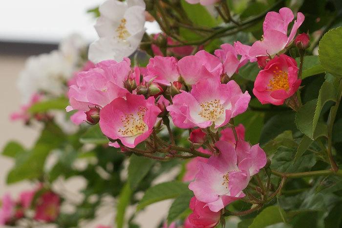 薔薇・・2_d0162994_05304354.jpg