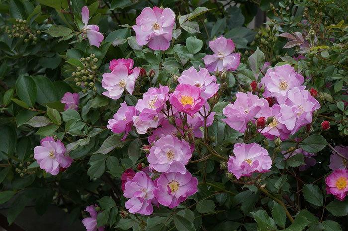 薔薇・・2_d0162994_05310279.jpg
