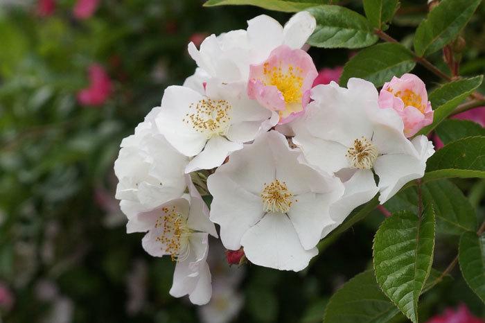 薔薇・・2_d0162994_05311958.jpg