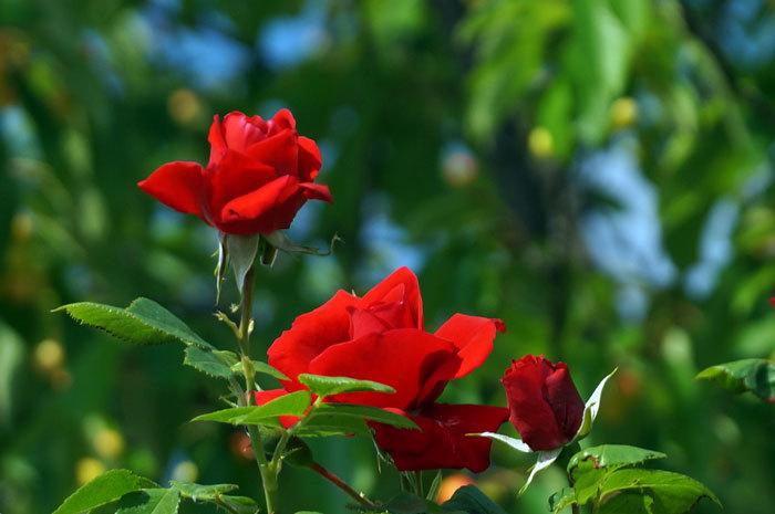 薔薇・・2_d0162994_05323257.jpg