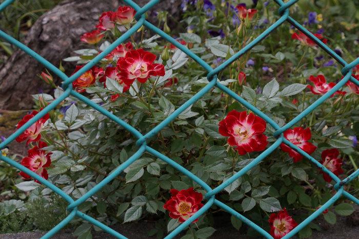 薔薇・・2_d0162994_05435283.jpg
