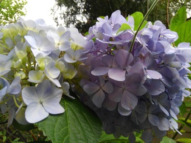 『vol.3788 我が家の紫陽花』_e0040714_18391516.jpg
