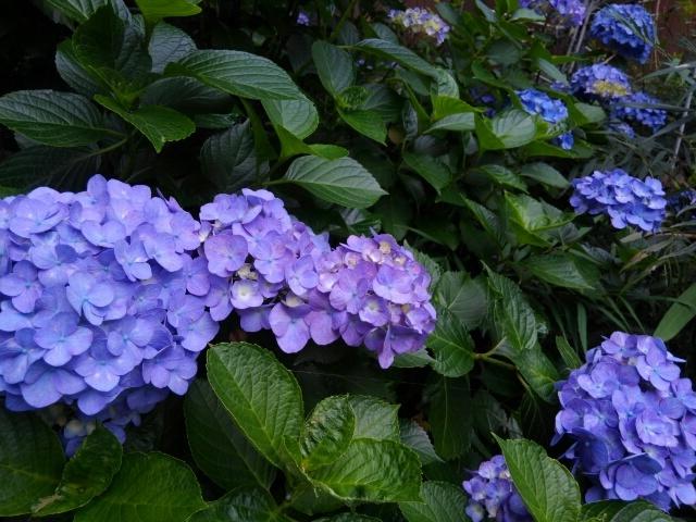 『vol.3788 我が家の紫陽花』_e0040714_18394054.jpg