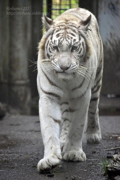 2019.9.2 伊豆アニマルキングダム☆ホワイトタイガーのシロップ【White tiger】_f0250322_0251398.jpg