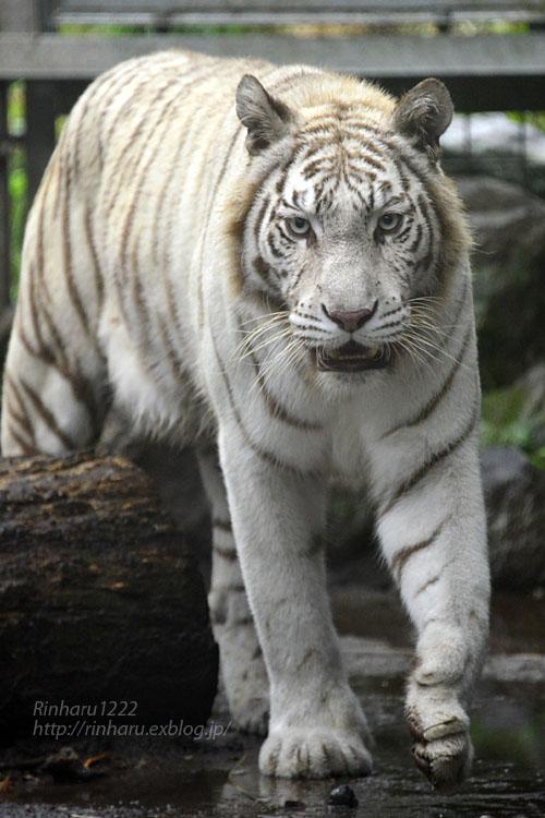 2019.9.2 伊豆アニマルキングダム☆ホワイトタイガーのシロップ【White tiger】_f0250322_025697.jpg