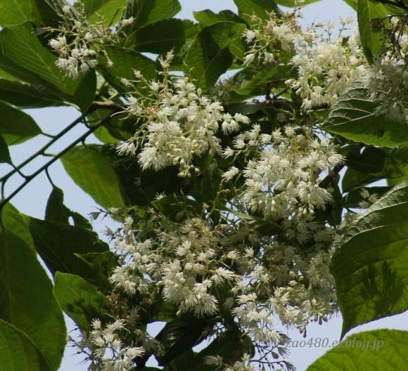 樹の花_a0304423_11050497.jpg
