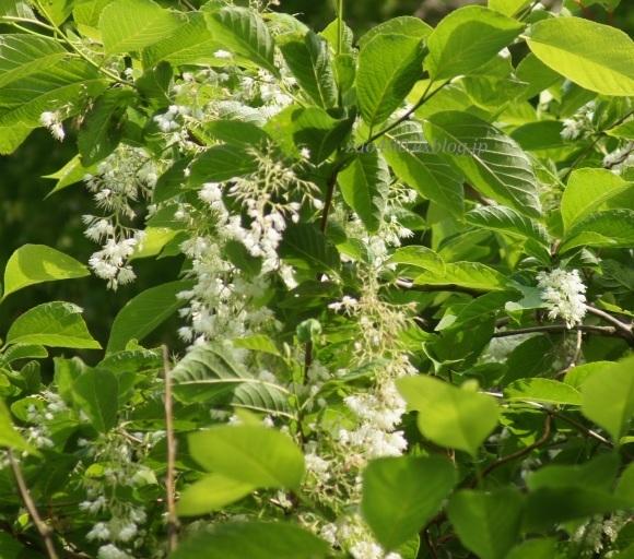 樹の花_a0304423_11051274.jpg