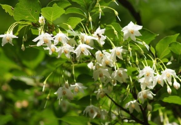 樹の花_a0304423_11052017.jpg