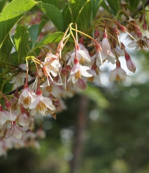 樹の花_a0304423_11052825.jpg