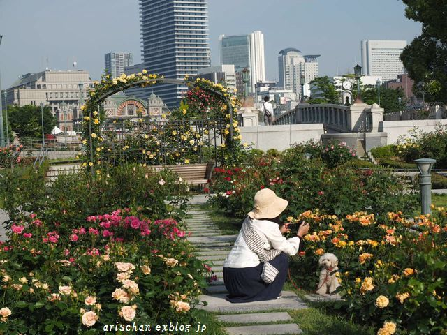 中之島公園の薔薇園2@大坂_e0406439_21270593.jpg