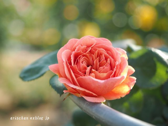 中之島公園の薔薇園2@大坂_e0406439_21345277.jpg
