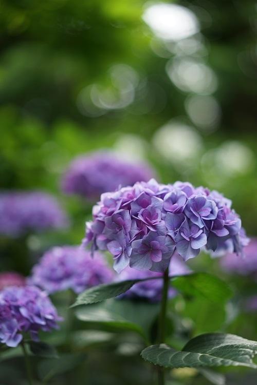 あじさいの庭で_a0292060_14393111.jpg