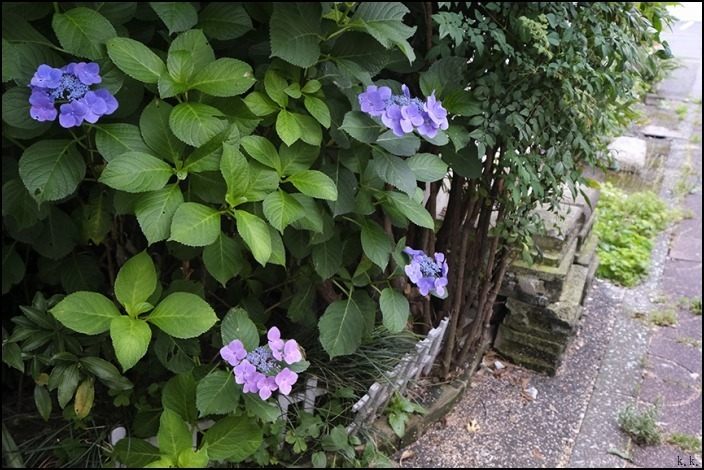 梅雨の晴れ間に近所を少し歩きました_a0031363_03145011.jpg