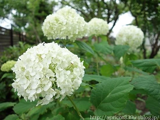 庭のアジサイと宿根草 1年前とのBEFORE→AFTER_c0293787_09461264.jpg