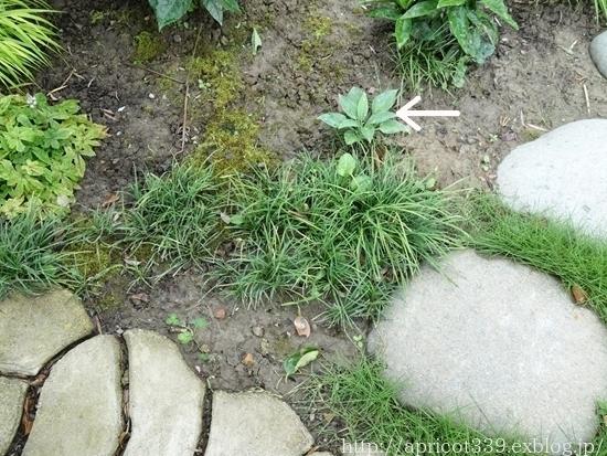 庭のアジサイと宿根草 1年前とのBEFORE→AFTER_c0293787_16543644.jpg
