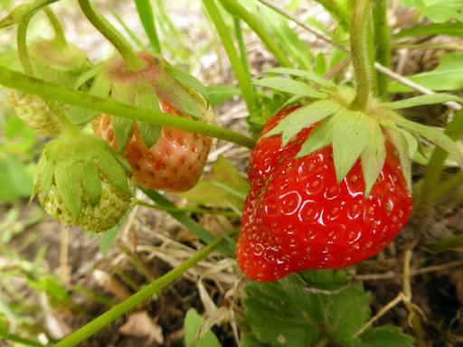 6月中旬の自然農畑、初収穫_d0366590_13122614.jpg