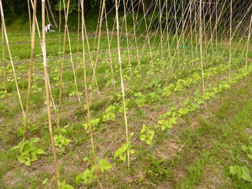 6月中旬の自然農畑、初収穫_d0366590_13220953.jpg