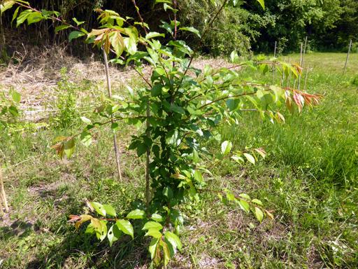 6月中旬の自然農畑、初収穫_d0366590_13331210.jpg