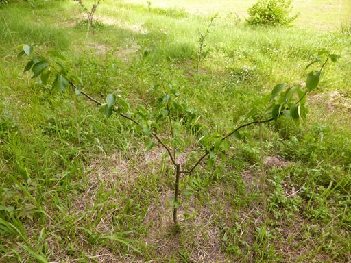 6月中旬の自然農畑、初収穫_d0366590_13331217.jpg