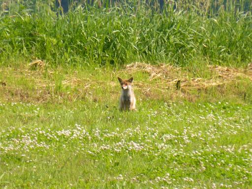6月中旬の自然農畑、初収穫_d0366590_13381573.jpg