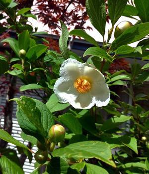 沙羅双樹 沙羅の木と呼ばれている夏椿の花が咲きました_c0036138_22230046.jpg
