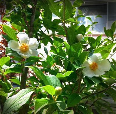 沙羅双樹 沙羅の木と呼ばれている夏椿の花が咲きました_c0036138_22230814.jpg