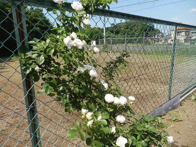 我が家にも薔薇が。_e0378686_09403158.jpg