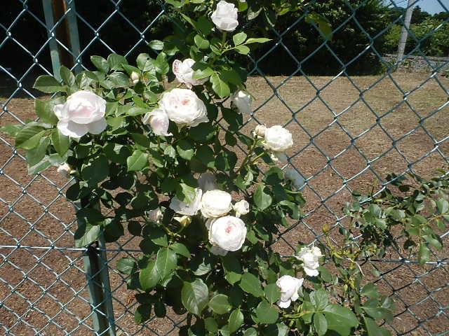 我が家にも薔薇が。_e0378686_09404932.jpg