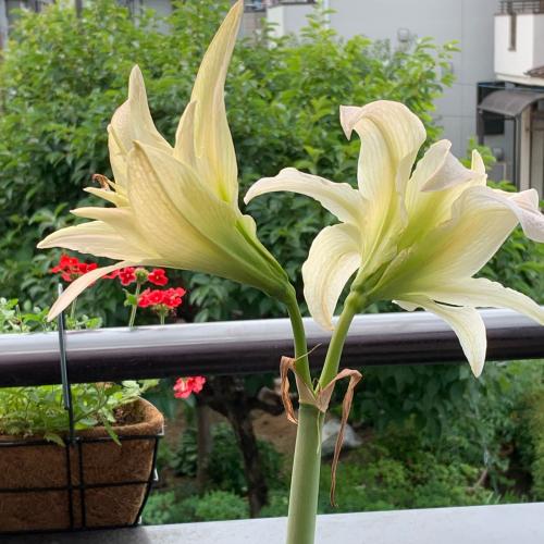 冬に室内で咲いたアマリリスをベランダに出しておいたら、もう一度咲きました。_b0105897_07495879.jpg