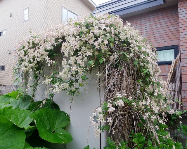クレマチスの物置/ Beautiful Garden Shed._e0120899_18370144.jpg