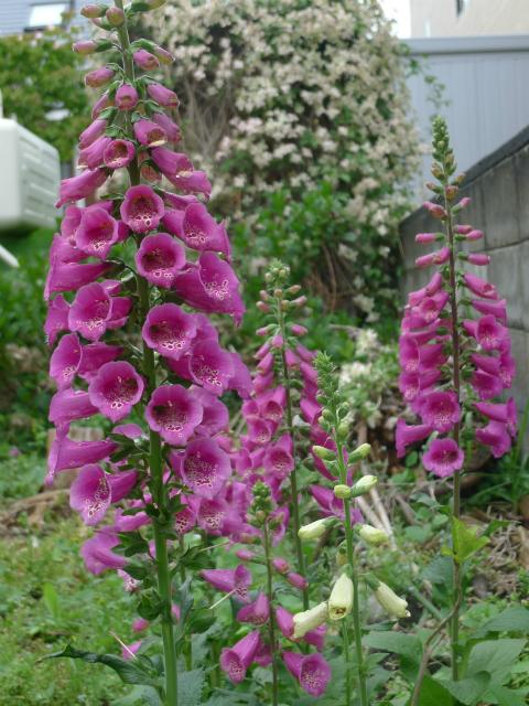 クレマチスの物置/ Beautiful Garden Shed._e0120899_18381898.jpg