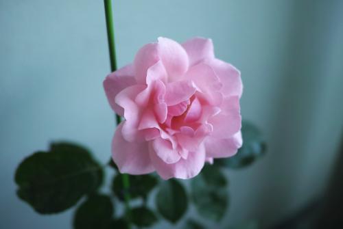 クイーン エリザベス -ベランダガーデンの遅咲きローズ-_c0334705_20040569.jpg