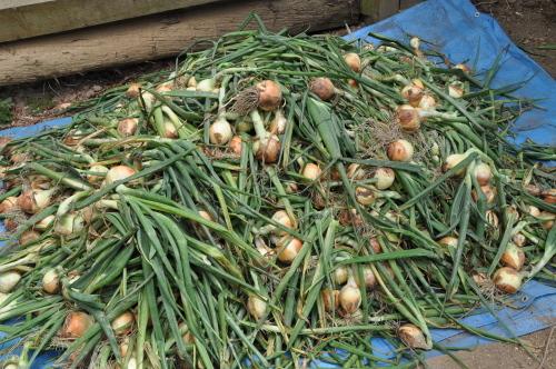 2019年6月9日 椎茸原木の本伏せ 玉ねぎの収穫_d0053832_11434659.jpg