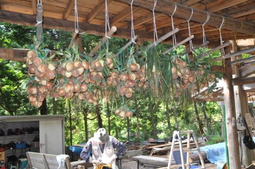 2019年6月9日 椎茸原木の本伏せ 玉ねぎの収穫_d0053832_11464109.jpg