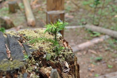 2019年6月9日 椎茸原木の本伏せ 玉ねぎの収穫_d0053832_12025171.jpg