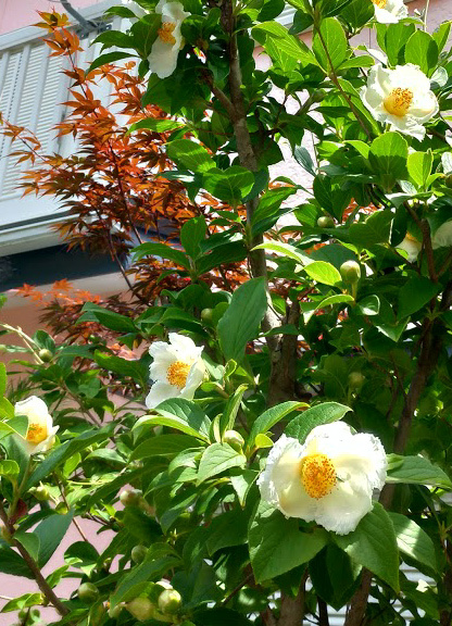 沙羅双樹 沙羅の木と呼ばれている夏椿の花が咲きました_c0036138_10583041.jpg