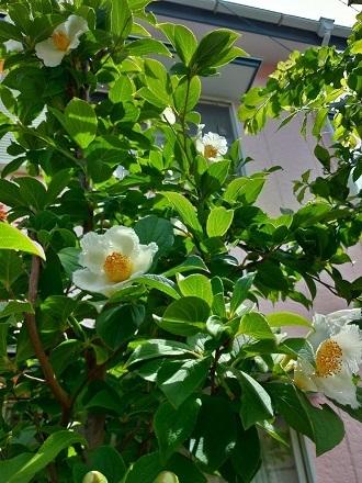 沙羅双樹 沙羅の木と呼ばれている夏椿の花が咲きました_c0036138_11063184.jpg
